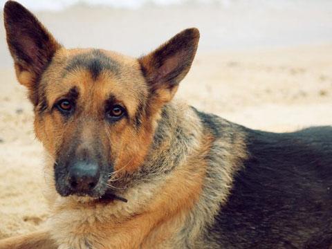 狗狗衰老的表现1